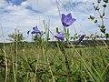20200904Campanula rotundifolia.jpg