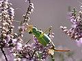 3 zadelsprinkhaan Ephippeger ephipigger vrouw met spermatofylax P1210007 (2).jpg