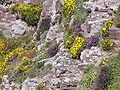 4034.Cap Frehel-Stechginster und Heidekräuter bewachsen jede noch so kleine Felsspalte des aus rotem Sandstein und schwarzen Schiefer bestehende.JPG