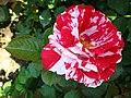 4510 - Bern - Rosengarten - Rose.JPG