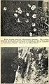 500 wild flowers of San Antonio and vicinity (1922) (16664729721).jpg