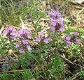 5036-Thymus serpyllum-Hradč. stěny-7.06.jpg