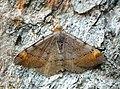 70.214 BF1893 Tawny-barred Angle, Macaria liturata (3684139776).jpg