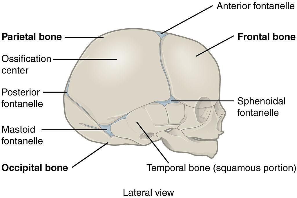 File:905 The Newborn Skull.jpg - Wikimedia Commons