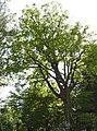 AB ND22 Quercus2.jpg