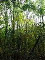 AJM 058 Las Terrazas Bambusoideae.JPG