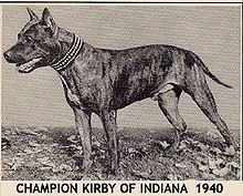 American Staffordshire Terrier - Wikipedia