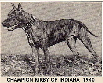 American Staffordshire Terrier - One of the earliest AKC Champion American Staffordshire Terriers.