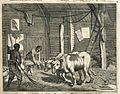 AMH-7009-KB Threshing grain with the help of cattle, Ceylon.jpg