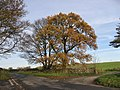 A Golden Tree - geograph.org.uk - 287404.jpg