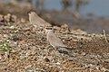 A Small Pratincole - in a group of more than 100 (49603117023).jpg