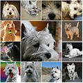 A Wee Westie - A Year on Flickr.jpg