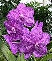 A and B Larsen orchids - Ascocenda Mikasa Sapphire 2891x.jpg