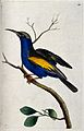 A bird, possibly a bee-eater (Merops apiaster). Coloured etc Wellcome V0022369.jpg