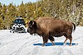 A bison Crosses the Road in Front of Two Snowmobilers (362f5695-706d-4798-859b-3a3758412d01).jpg