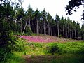 A density of Foxgloves near Upottery - geograph.org.uk - 1365309.jpg
