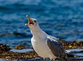 A gull screaming, Umag, Istria, Croatia 13.jpg