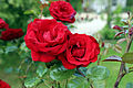 A red rose in Great Waltham, Essex, England 01.JPG