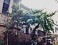 A wander tree in The San Antonio River Walk.San Antonio,Texas.USA. - panoramio.jpg
