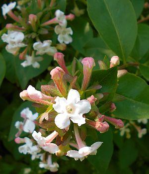 Abelia - Abelia mosanensis