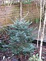Abies koreana - Flickr - peganum.jpg
