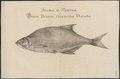 Abramis sapa - 1726 - Print - Iconographia Zoologica - Special Collections University of Amsterdam - UBA01 IZ15000128.tif