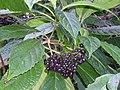 Abrophyllum ornans Elvina Bay.JPG