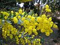 Acacia cultriformis a1.JPG