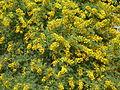 Acacia karroo, blomhofies, Jimmy Aves Park, a.jpg