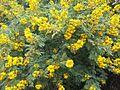 Acacia karroo01.jpg