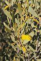 Acacia kempeana foliage and flowers.jpg