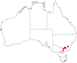 <i>Acacia phasmoides</i> species of plant