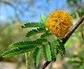 Acacia smallii 4.jpg