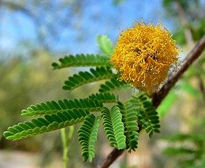 Vachellia - Vachellia farnesiana