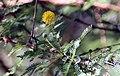 Acacia tortuosa 7zz.jpg