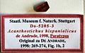 Acanthostichus hispaniolicus SMNSDO5205-3 04.jpg