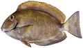 Acanthurus chirurgus - pone.0010676.g183.png