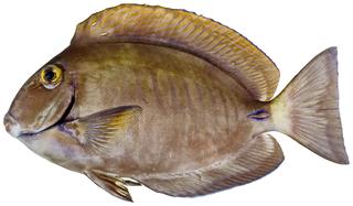 <i>Acanthurus</i> genus of fishes