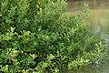 Acanthus ilicifolius.jpg