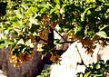 Acer heldreichii ssp visianii fruit winged achaene (samaras) karsti-glacial slope Mt Orjen Montenegro.jpg