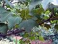 Acer nipponicum 2zz.jpg