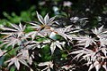 Acer palmatum Kinran 1zz.jpg
