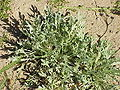 Achillea clavenae0.jpg