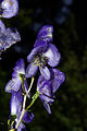 Aconitum napellus 02 by-dpc.JPG