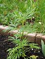 Aconitum napellus 0516.JPG