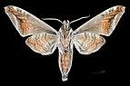 Acosmeryx naga MHNT CUT 2010 0 95 Sa Pa, Lào Cai, Viêt Nam, male ventral.jpg