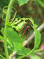 Acraea violae - Tawny Coster caterpillars on the leaves of hostplant Passiflora foetida at Palappuzha (6).jpg