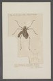 Acripeza - Print - Iconographia Zoologica - Special Collections University of Amsterdam - UBAINV0274 066 02 0077.tif