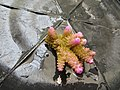 Acropora nasuta Maldives.JPG