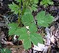 Actaea spicata leaf (11).jpg